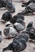 Berlin's town pigeons on the decrease