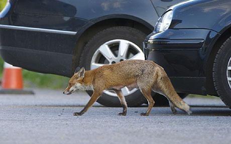 Foxes back in Paris
