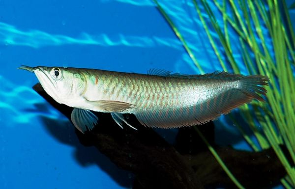 High Quality A Life Flying Fish and Arowana Fish