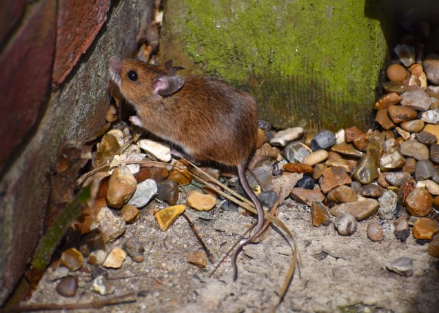Famished London rats moving to the residential areas