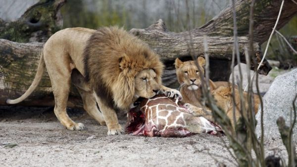 Copenhagen zoo culls four lions - image 1