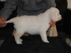 Golden retreiver puppie