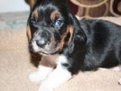 Adorable  Basset Hound puppies