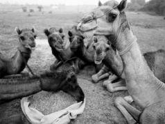 Camel: A Journey through Fragile Landscapes: Photographs by Roger Chapman
