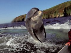 Fungie: Ireland loses hope for beloved dolphin, feared dead