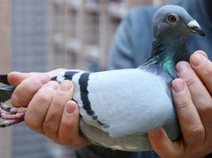 Belgian racing pigeon closes record sale at € 1.6m