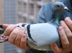 Belgian racing pigeon closes record sale at € 1.6m