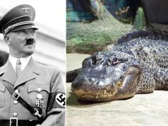 Saturn, Hitler's alleged alligator, embalmed in Moscow