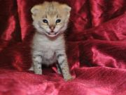 Serval and f1-f6 savannah kittens available