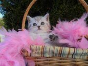 My scottish kitten for sale