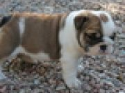 Cute  bulldog  for  sale