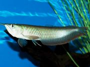 High Quality A Life Flying Fish and Arowana Fish