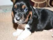Adorable  Basset Hound puppies