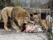 Copenhagen zoo culls four lions