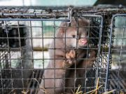 Denmark will kill millions of minks due the covid-19