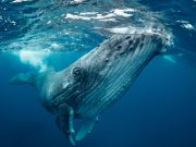 The blue whale, the largest animal on the planet, has found its way home.