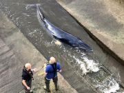 Young whale stuck in London's Richmond Lock Bridge put down